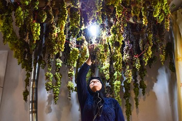 بخش از انگورهای برداشت شده را برای خشک کردن  از سقف خانه اویزان می کنند