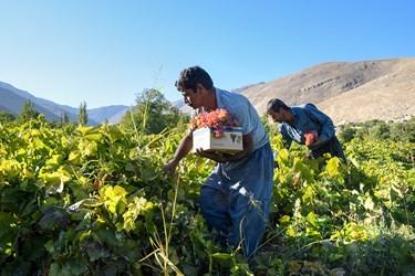 برداشت انگور از تاکستانهای روستای هزاوه در استان مرکزی