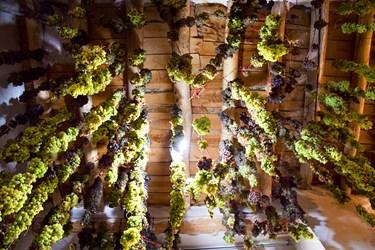 بخش از انگورهای برداشت شده را برای خشک کردن  از سقف خانه اویزان می کنند .