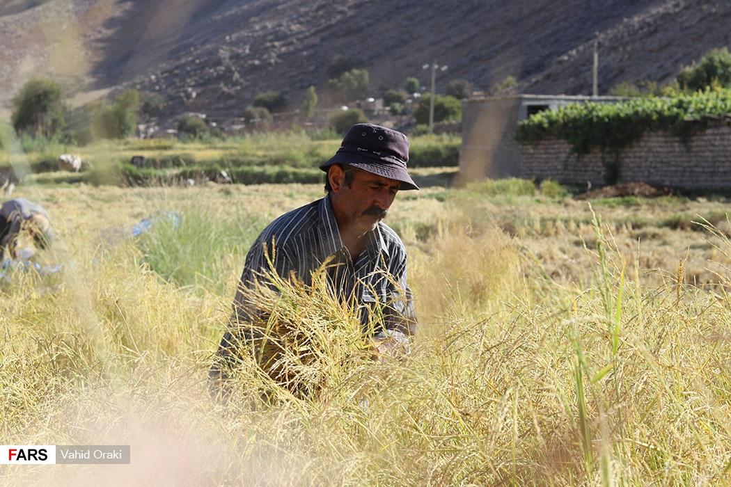 برداشت برنج از شالیزارهای بخش سوسن در شهرستان ایذه - عکاس : وحید اورکی