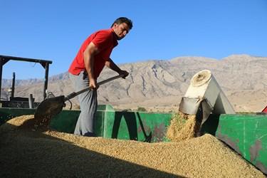 برداشت برنج از شالیزارهای بخش سوسن
