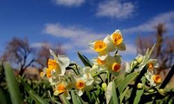 بهار در نرگسزارهای «خوسف»/ برداشت ۱۲ میلیون شاخه گل از نرگسزارها