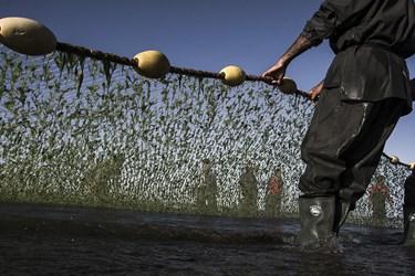 صیادان در هر نوبت از صید دوبار تور را پهن میکنند  اولین تور زمانی که به ساحل نزدیک شد تور دوم را هم میکشند که پشت هم صید داشته باشند