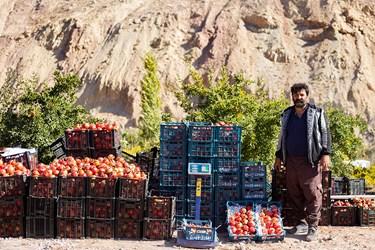 فروش خرد و محلی یکی از بازارهای هدف انارهای برداشت شده است