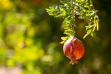 انارها اگر مدت زیادی بر روی درخت باشند به علت سرمای هوا به اصطلاح شکسته می شوند.