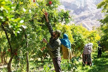 15مهرماه تا پایان آبان ماه زمان برداشت محصول انار از درختان است.
