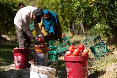 انارها توسط کارگران فصلی از درختان چیده می شوند .