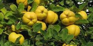تولید 200 تن محصول «به» در شهرستان هوراند