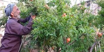 فیلم| باغی پرثمر که هر ساله محصولاتش وقف فقرا میشود