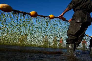 صیادان در هر نوبت از صید دوبار تور را پهن می کنند اولین تور زمانی که به ساحل نزدیک شد تور دوم را هم می کشند که پشت هم صید داشته باشند