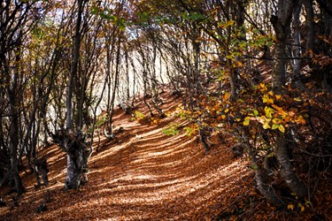در فصل پاییز، سطح جنگل بالابند پوشيده از برگهای زرد درختان است.