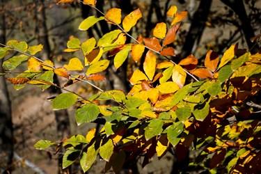 در نیمههای فصل پاییز، برگهای درخت راش كم كم رو به زردی و خزان می رود.