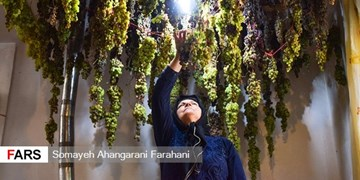 فیلم| برداشت  2 تن انگور از حیاط کوچک یک خانه در اراک