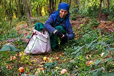 زنان روستا در جمع آوری و برداشت انار کمک می کنند