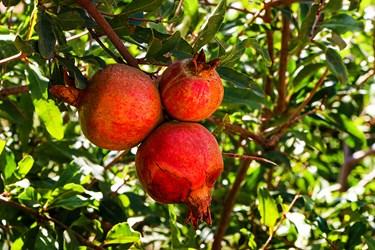 انارها اگر مدت زیادی بر روی درخت باشند به علت سرمای هوا روز به روز کیفیت خود را زدست می دهد