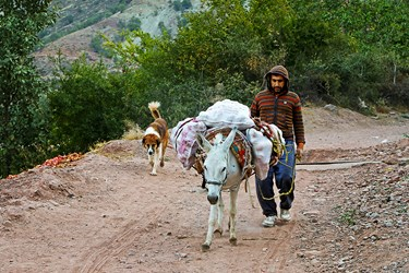 روستایان برای انتقال انارهای برداشت شده از چهار پایان استفاده می کنند.