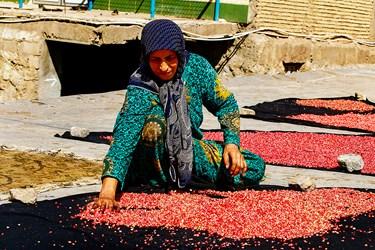 زنان روستا دانههای انار را برای خشک کردن در پشت بام خانه پهن می کنند .