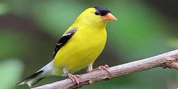 دستگیری ۳ صیاد بههمراه کشف ۶۰ پرنده سهره در گرمی