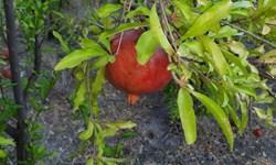 پیشبینی برداشت بیش از ۳ هزار تن انار از باغات پاوه
