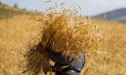 آغاز برداشت مکانیزه گندم در دشت سیستان