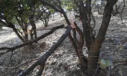 کمر شکسته زاگرس زیر بار عوامل نابود کننده جنگلها/ نفس بلوطهای ایلام به شماره افتاد