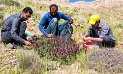 اجرای طرح توسعه زنجیره ارزشی گیاهان دارویی در آذربایجان غربی