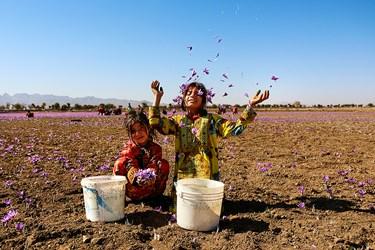 کودکانه های شاد در میان زیبایی و عطر دل انگیز زعفران.