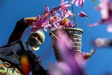 تجمیع سبدهای گل زعفران توسط کارگران، پیش از وزن کشی آنها.