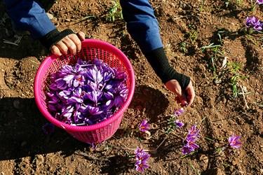 هر کدام از اهالی روستا موقع برداشت گل زعفران، سبدهای مخصوصی را پر از گل میکنند و حاصل دسترنج خود را دریافت میکنند.