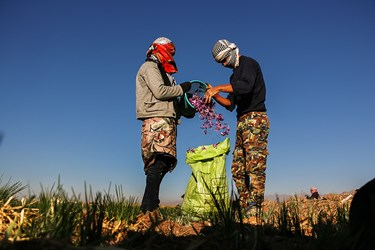 همکاری کارگران برای تجمیع گل های چیده شده زعفران.