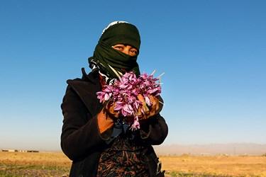بانوان روستا در کنار مردان  برای درآمد زایی و پرکردن اوقات فراغت مشغول چیدن گل زعفران میشوند.