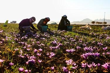 گل های بنفش زعفران توسط مردان روستا چیده می شود و  آنها را در سبدهای مخصوص قرار میدهند که به گل ها ی زعفران آسیبی نرسد.