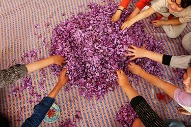 جداسازی کلاله از گل برای کودکان و نوجوانان روستایی هم جذابیت های خاص خودش را دارد و به نوعی سرگرمی آنها محسوب میشود.