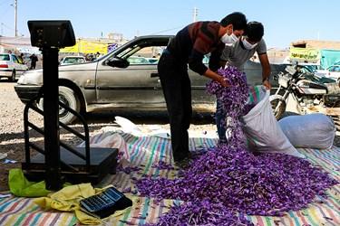 مردان پس از برداشت گلهای زعفران، مسئولیت وزن کشی و بسته بندی آن را برعهده دارند.
