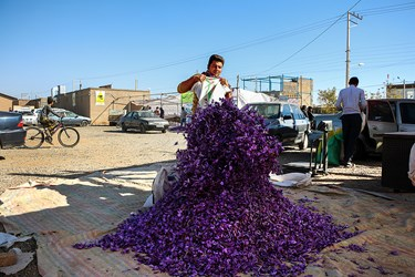 گل های چیده شده زعفران برای وزن کشی و فروش تجمیع می شوند.