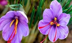 تولید ۱۴۰۰ کیلوگرم زعفران خشک در آذربایجانشرقی/ تولید 90 درصد زعفران دنیا در ایران