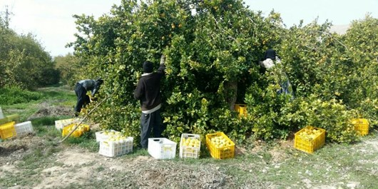 قیروکارزین، رتبه نخست تولید لیموشیرین مرغوب در کشور