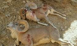 بازداشت شکارچی غیرمجاز با گوشت شکار مربوط به پنج راس حیوان