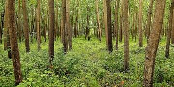 زراعت چوب یک سرمایهگذاری معقولانه در گلستان/  ایجاد اشتغال و درآمد با توسعه زراعت چوب