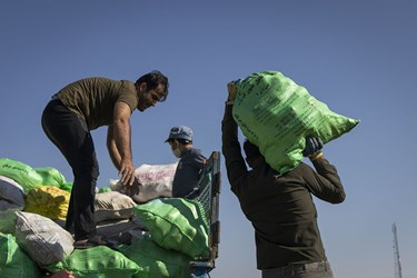 برداشت چغندر در استان سمنان