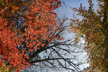 ترکیب شیمیایی قند با سایر مواد موجود دربرگ ها رنگ های متنوع و زیبایی را به وجود میآورد مانند طیف های مختلف رنگ قرمز زرد و نارنجی