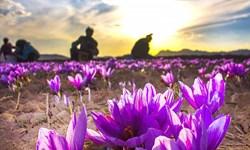 وقتی یک کشاورز مشگینشهری نمونه میشود/ برداشت ۸ کیلو زعفران از نیم هکتار زمین!
