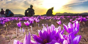 موفقیت ایران در ساخت سامانه هوشمند فرآوری گل زعفران برای نخستین بار در جهان
