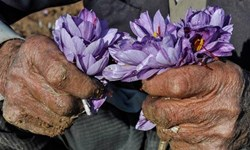 سود 20 برابری دلالها از فروش زعفران ایرانی/ حال و روز زعفرانکاران خراسانجنوبی خوش نیست