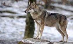 مشاهده6 قلاده گرگ در اطراف شهر ارومیه/ زندهگیری یکی از گرگها در منزل مسکونی