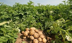 تولید بیش از 50 هزار تُن سیبزمینی در شهرستان بستانآباد
