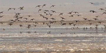 حضور بیش از ۱۲ هزار قطعه پرنده در استان اردبیل/ مشاهده دو گونه ارزشمند در تالابهای استان