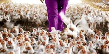 هشدار دامپزشکی در زمینه شیوع آنفولانزای مرغی در سیستان وبلوچستان