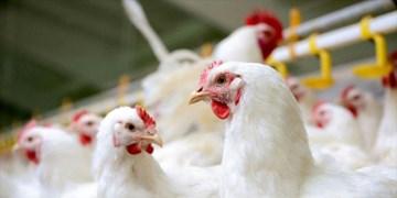 موافقت وزیربا صدور مجوز مرغداری گوشتی بهصورت زنجیره تولید در آذربایجانشرقی