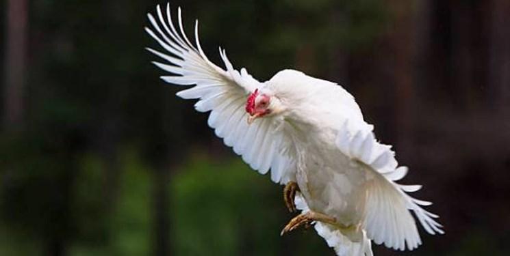 قیمت مرغ در تعقیب قیمت گوشت قرمز!